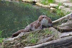Een van de otters, lekker uitrusten in het zonnetje.