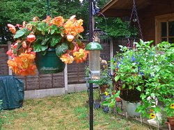 Springwood Sun Club Hanging Baskets