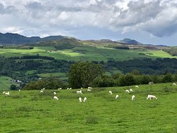 Walking through a sheep meadow along the Rob Roy Way, Scotland.