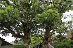 Exposed Camphor Tree