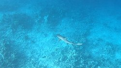 One of the local reef sharks you can see snorkeling at the house reef.