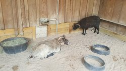 Oatland Island Wildlife Center includes a petting zoo