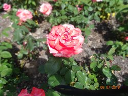 The roses from the Rose Garden.