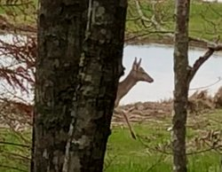 Caught this deer in mid step from behind the trees.