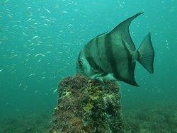 Spadefish- Airplane wreck