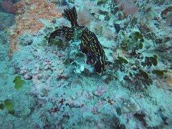 Regal goddess nudibranch- Natural ledge