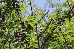 Gli alberi di ciliege accanto al Santurio