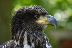 Eagle named Theia