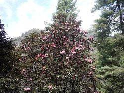 Rhododendron on bloom in the Annapurna trek