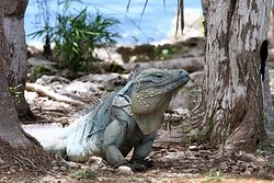 Blue Iguana Conservation Tour