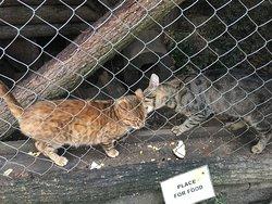 Bengalische Katzen, leider ein viel zu kleines dunkles Gehege