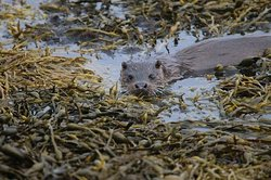 Otter searching in the weed for crabs