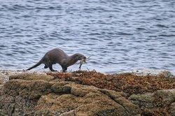 Otter bringing crab ashore to feast