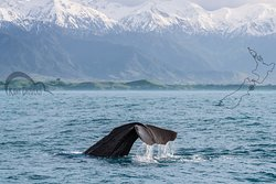 Whale watching is one of the best things that you can experience only if you're close to Christchurch. Some species of the world's largest creatures are found in the waters just off Kaikoura.