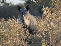 White Rhino Sighting - Moremi Game Reserve