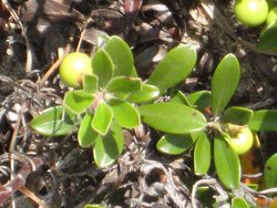 """Bearberry (Arctostaphylos uva-ursi in the Heath family  Ericaceae).  This is the only plant I know where the common English name, the Genus name (Arctostaphylos) and the Species name (uva-ursi) all have the same meaning, """"bearberry""""."""