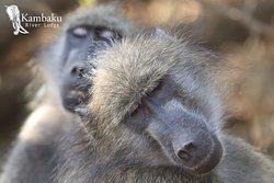 On safari with Kambaku River Lodge and Elvis - baboons having an afternoon snooze!