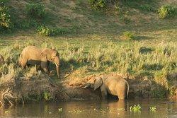 Elephants visiting Kambaku River Lodge on the banks of the Crocodile River, Kruger National Park