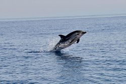 Dauphins bleu et blanc (Stenella coeruleoalba, Striped dolphin)