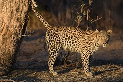 Female leopard squirting her scent