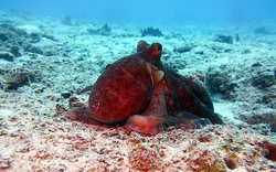 The octopus has three hearts, eight long arms and can change the color of its skin for camouflage to gray, brown, pink, blue, or green to blend in with its surroundings.