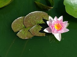 This is one of the amazing water lilies growing in one of the ponds.