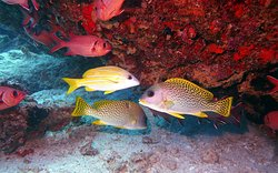The colorful reef fish of Zanzibar – Bigeyes, bluestripe snappers and blackspotted sweetlips gathering at dive site Wattabomie, Mnemba Atoll Marine Park