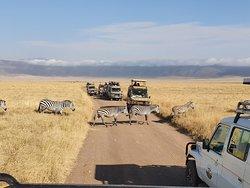 Zebra crossing in Ngorongoro crater
