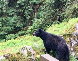 Black bears at Anan Creek