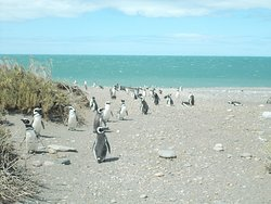 A group of penguins near the sea (at the Penguin Colony of Cabo Virgenes)