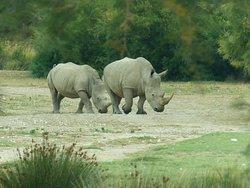 Rhino au top