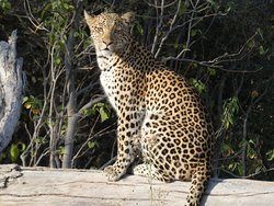 Leopard Sighting - Blue Ribbon Safari.