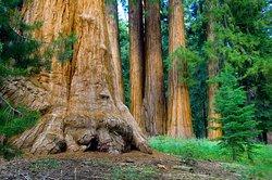 The awe inspiring Mariiposa Grove of Giant Sequoias!