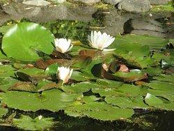 Pond Lily in Connie Hansen Garden