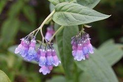 Mertensia - mountain chiming bells