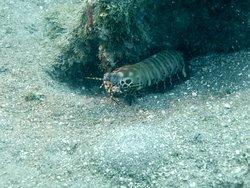 Mantis shrimp at Middle Reef