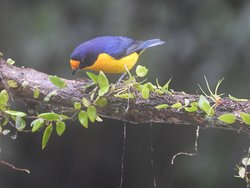 Tanager.