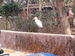 Stork in Diwar Island