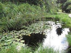 Лилии в пруду