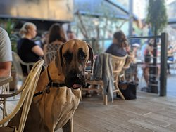 Gus the Great Dane, one of our new regulars