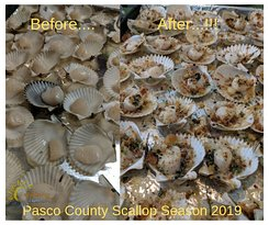 Pasco county scallop season was a success!