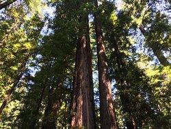 Looking upredwoods
