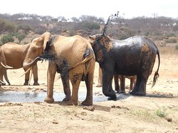 Eléphants et bains de boue