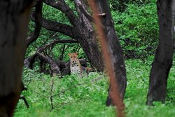 Leopard on a rainy day. August 2019 sightings in Jhalana Panther Safari by World of Wilders