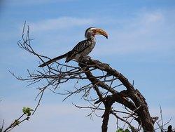 Yellowbilled Hornbill.