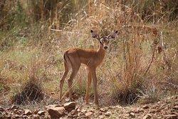 """Bambi"" Little Impala."