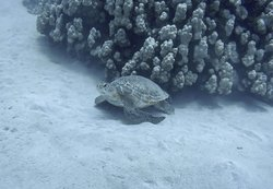 Green Turtle getting a back rub on the reef