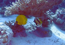 Masked Butterflyfish & Red Sea Bannerfish with Blue Spotted Ray beneath