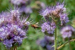 Honeybees in the gardens