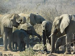 Elephant by the lodge water hole